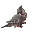 585-white-face-gray-cockatiel.png
