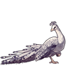 750-snowy-peacock.png