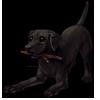 926-black-labrador.png