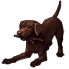 927-chocolate-labrador.png