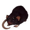 1022-deep-brown-dumbo-rat.png