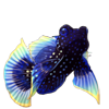 2653-star-mandarinfish.png