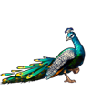 3013-pretty-peacock.png