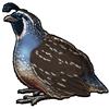 5037-california-quail.png