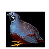 5038-king-quail.png