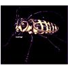 6361-cottonwood-longhorn-beetle.png